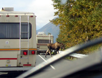 Moose in road!