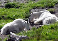 Dall mountain sheep
