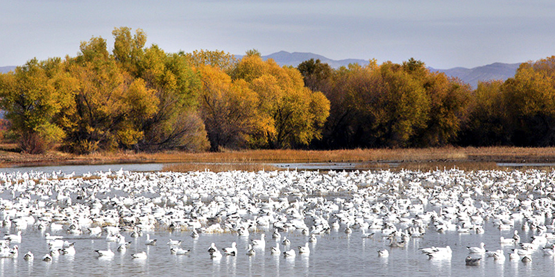 Snow geese at Bosque del Apache, NM - Photo by Ann Van Breemen