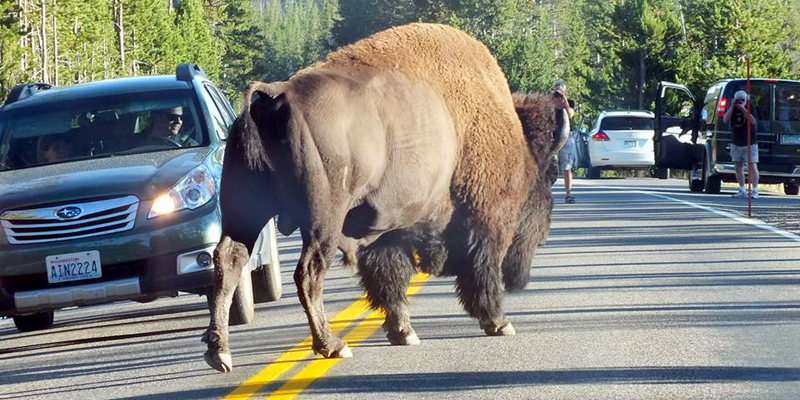 Buffalo trafic jam, Yellowstone NP - Photo by David Gomm