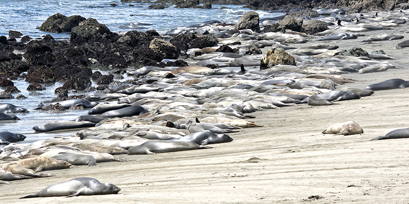 California Elephant Seals, central coast - Photo by Keith Growden