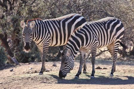 11_Zebra_Twins