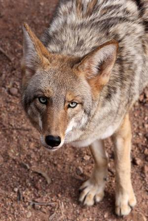 1_Wily_Coyote