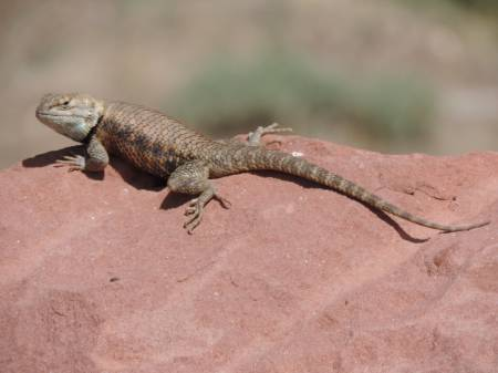 Lee's Ferry - Collared Lizard