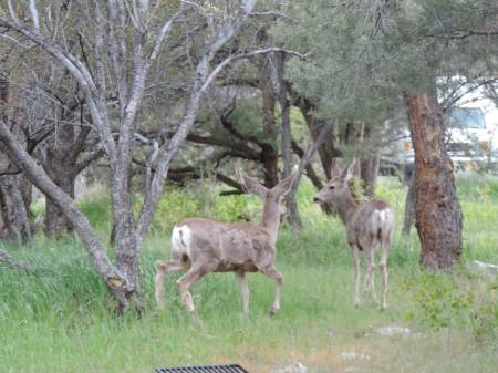 Mule Deer at Great Basin