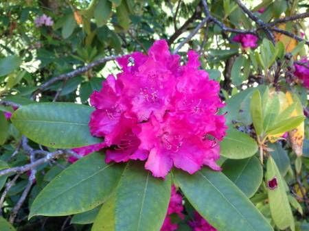 Rhododendrons -1