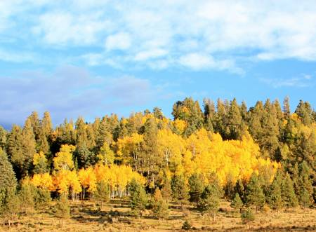 Aspen leaves changing color near Taos, New Mexico