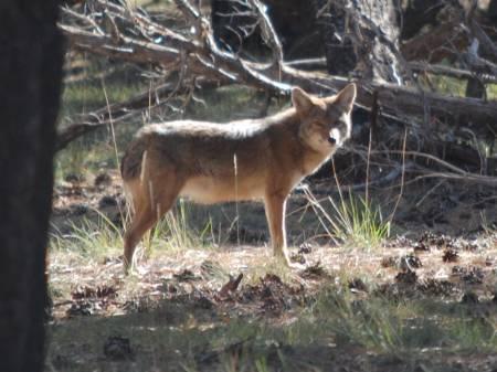 Coyote (i think)