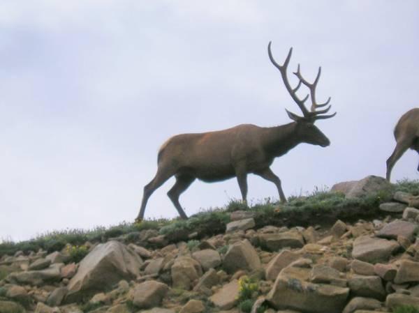 Elk on Patrol