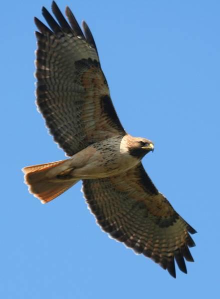 Red tailed Hawk 3-10-10 Prunedale, CA
