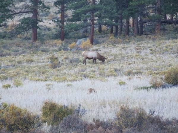Lone Elk, Morraine park.