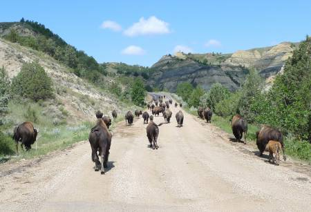 Traffic Hold-Up, Theodore Roosevelt NP (North Unit)