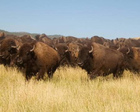 Buffalo Roundup - Custer State Park