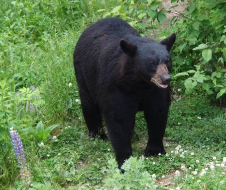 Black bear at the North American Bear Center