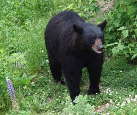 Black bear at the North American Bear Center