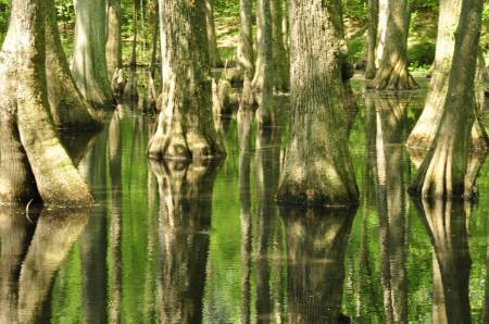 Cypress Swamp- Natchez Trace