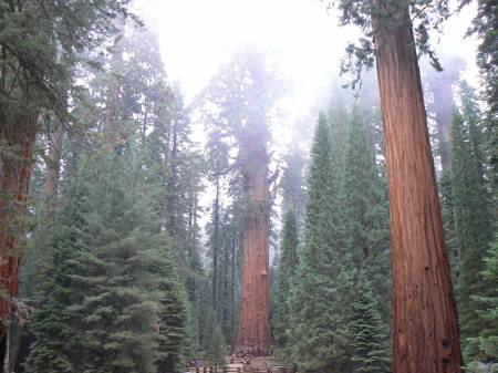 Giants forest, Sequoia