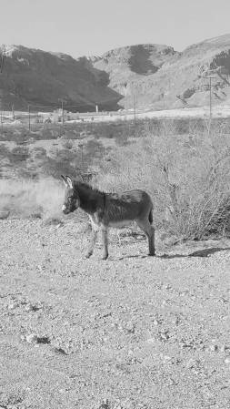 Wild burro near Blue Diamond, NV