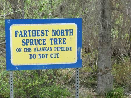 Farthest North Spruce