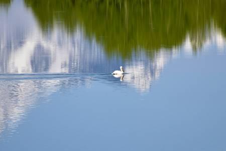 Tetons Pelican