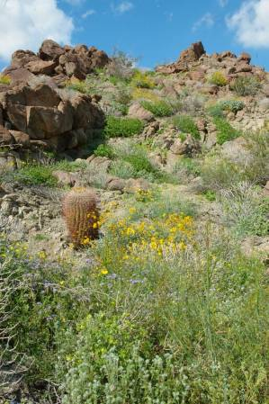 Anza-Borrego wilflowers