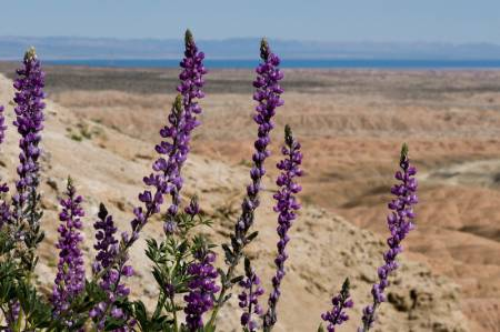 Lupine in the Anza-Borrego Desert