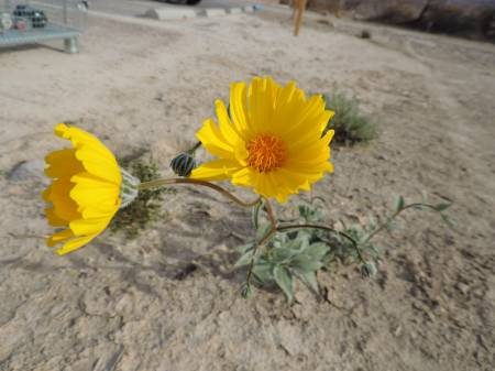DV flower