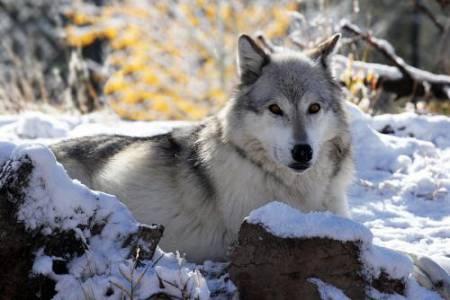 31_Wolf