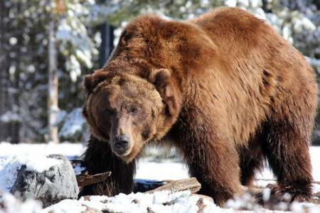 33_Grizzly