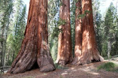 8_Sequoias