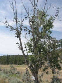 Cottonwood shoe tree near Mitchell, OR