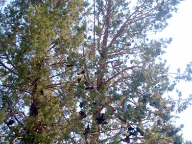 Shoes in the pine boughs